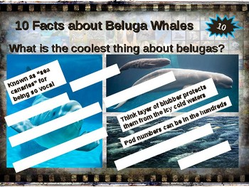 BELUGA WHALES: 10 facts. Fun, engaging PPT (w links & free graphic organizer)
