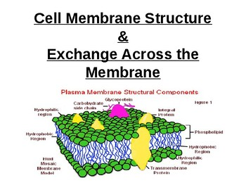 BIology - Cell membrane structure & exchange across membranes.