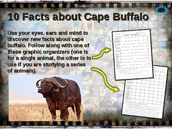 BUFFALO: 10 facts. Fun, engaging PPT (w links & free graphic organizer)