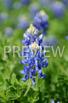 BUNDLE Stock Photo: Bluebonnets - Personal & Commercial Use