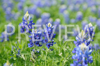 Stock Photo: Bluebonnets - Personal & Commercial Use