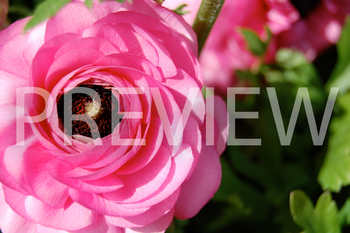 Stock Photo: Flowers- Personal & Commercial Use