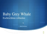 Baby Grey Whale
