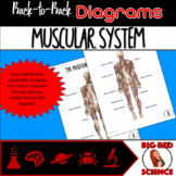 Body Systems: Muscular System (Back-to-Back Diagrams)
