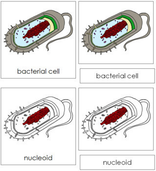 Bacterial Cell Nomenclature Cards