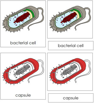 Bacterial Cell Nomenclature Cards (Red)