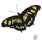 Baird's Swallowtail Butterfly