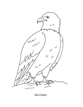 Bald Eagle Coloring Page By Mama Draw It Teachers Pay Teachers