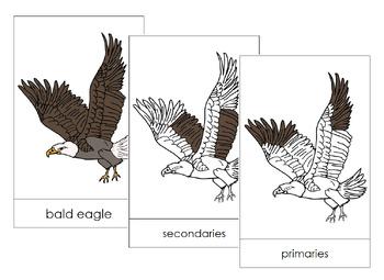 Bald Eagle Nomenclature Cards