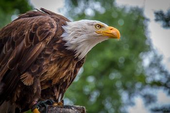 Bald Eagle Photo Backgrounds