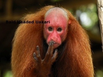 Bald Headed Uakari - Power Point Information Facts Pictures
