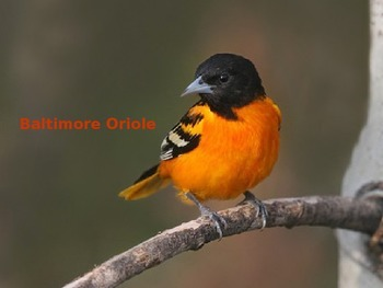 Baltimore Oriole - Bird Power Point Facts Pictures 8 Slides