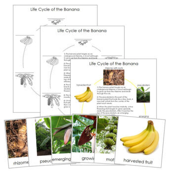 Banana Life Cycle Cards and Charts