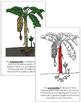 Banana Plant Nomenclature Book - Red