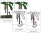 Banana Plant Nomenclature Cards - Red
