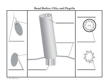 Basal Bodies, Cilia, and Flagella Diagram Coloring Page and Reading Page