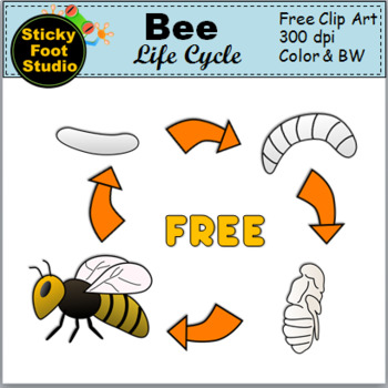 Basic Bee Life Cycle Clip Art for Spring Science