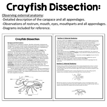 Basic Biology:  Crayfish Dissection