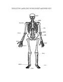 Basic Skeleton Bone Labeling
