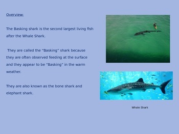 Basking Shark - Power Point - Facts Pictures 8 Slides