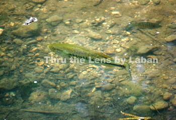 Bass Fish in Creek Stock Photo #91