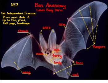 Bat Anatomy: Label Body Parts - SmartBoard 11.4 - Windows OS