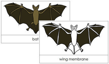 Bat Nomenclature Cards