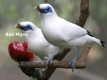 Bayli Myna Bird Power Point Information Facts Pictures