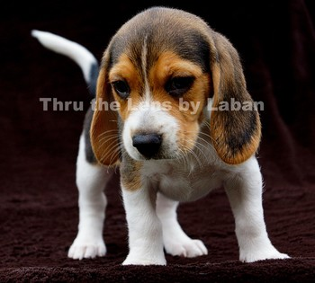 Beagle Puppy Stock Photo #81