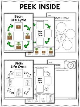 Vocabulary Activity - Bean Plant Life Cycle