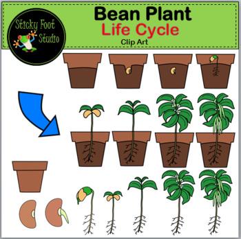 Bean Plant Life Cycle Clip Art