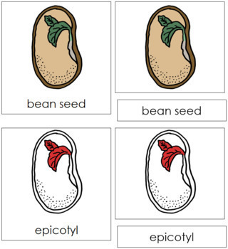 Bean Seed Nomenclature Cards (Red)