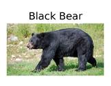 Bear Diversity Lesson