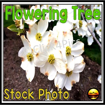 Photo Tree Flowering White Dogwood for Commercial Use