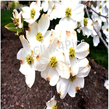 Flowering White Dogwood Tree Stock Photo By Click4pics Tpt