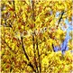 Trees Yellow Tree Picture $1 Stock Photo for Commercial Use