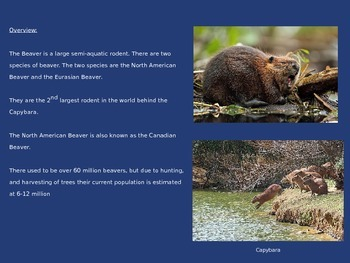 Beaver Power Point 10 Slides Information Facts Everything on Beavers