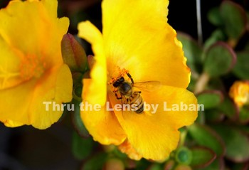 Bee on Yellow Flowers Stock Photos #214 and #215