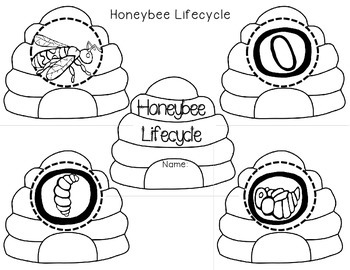 Bees: Life Cycle & Anatomy