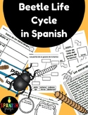 Beetle Life Cycle in Spanish (Mealworm) Ciclo de vida del escarabajo