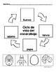 Beetle Life Cycle in Spanish (Mealworm) Ciclo de vida del escarabajo