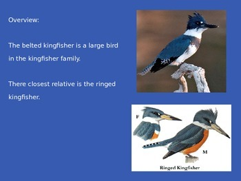 Belted Kingfisher Power Point Great Pictures Information Facts