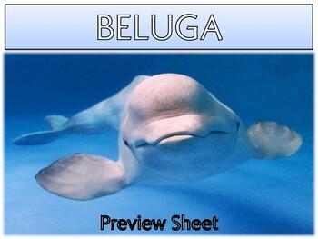 Beluga Whales - Mini Unit