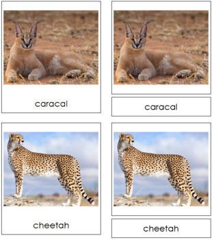 Big Cats: 3-Part Cards