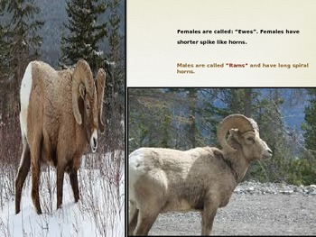 Mammals-Big Horn Sheep