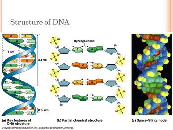 Big Idea 3.A.1 AP Biology Molecular Genetics DNA RNA Replication Protein Syn