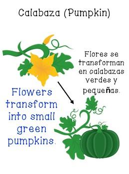 Bilingual Life Cycle of a Pumpkin (English/Spanish)