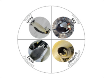 Bilingual Penguin Life Cycle With Real Photos Montessori Preschool Science