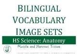 Bilingual Vocabulary Image Set (Spanish): HS Anatomy, Muscle Tissue