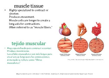 Bilingual Vocabulary Image Set (Spanish): HS Anatomy, Muscle Tissue